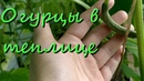 Выращивание Огурцов В Теплице Урожай В Конце Июля