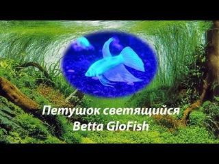 Петушок Светящийся / Betta GloFish  #BettaGloFish#ПетушокGlo#петушоксветящийся#Глофиш