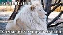 БЕЛЫЙ ЛЕВ Отдельный подвид львов или альбинос Интересные факты про львов, тигров и больших кошек