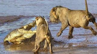 """Крокодил против львов. Самые эпичные битвы животных """"за 5 Минут"""""""