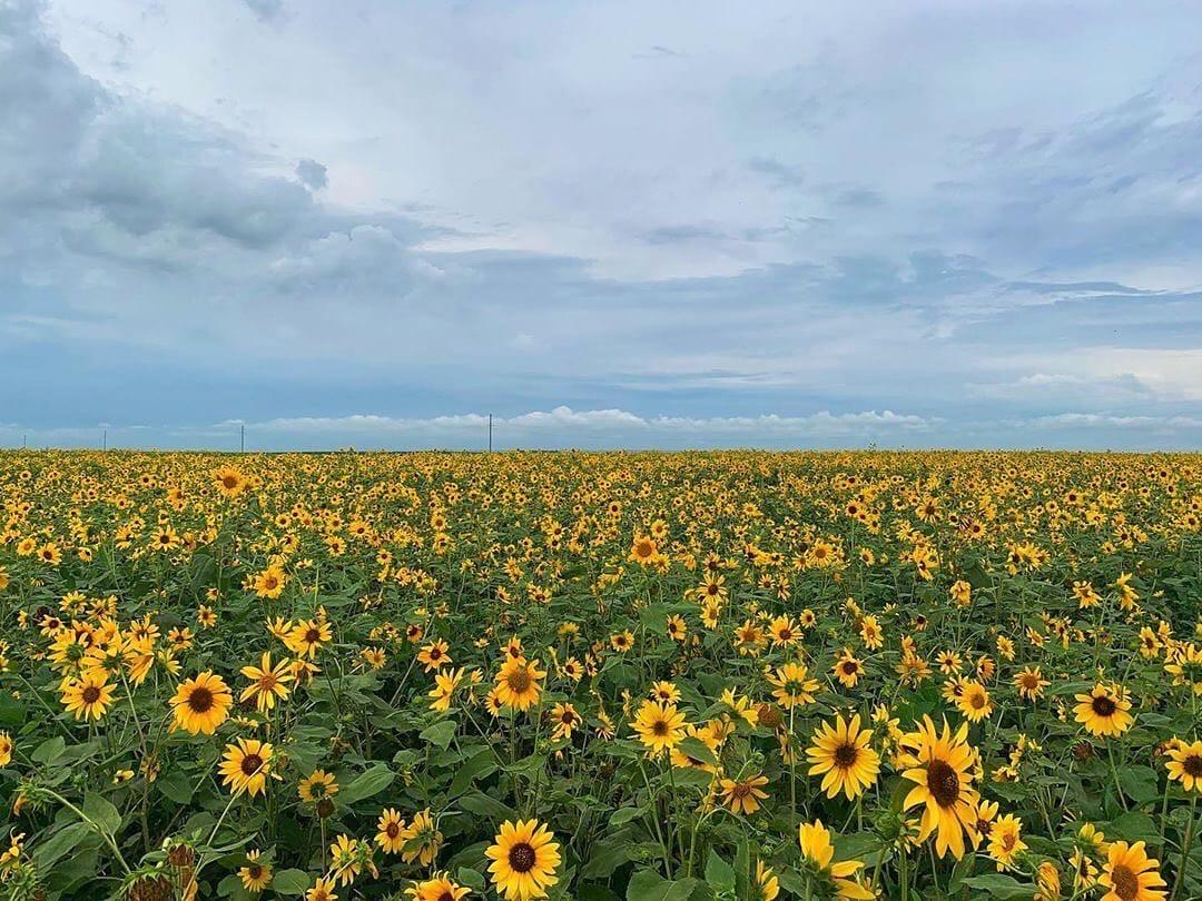 Огромное поле подсолнухов в Ивановском районе