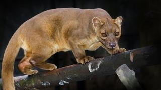 Любитель лемуров, курочек и главная вонючка Мадагаскара! ФОССА - это вам не кошка!
