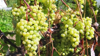 Нижегородский виноград. Формировка и укрытие винограда