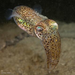 cute cuttle fish - 736×736