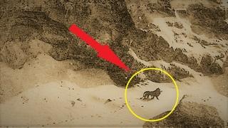 Последний берберийский лев, за час до полного исчезновения всего вида!