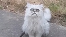 Weird looking cat Wilfred goes viral with Michael Rapaport voiceover