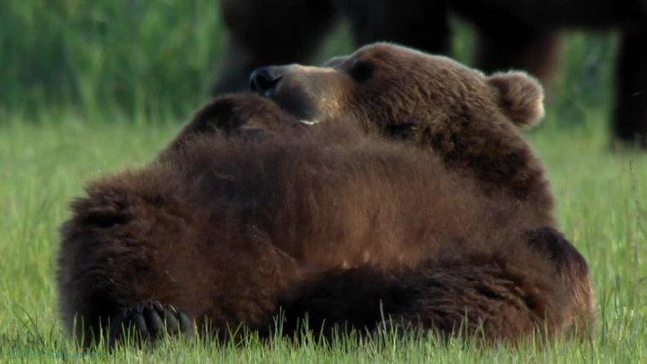 BBC Круглая планета 10 Медведи Познавательный природа животные пародия 2016
