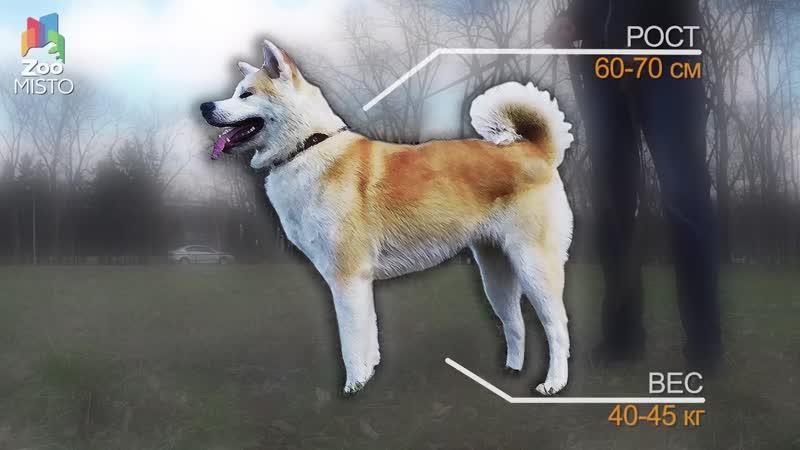 Акита Ину Все о породе собаки Собака породы Акита Ину