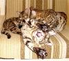 Бенгальские котята коты кошки в СПб - Питомник