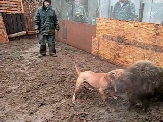 Питбуль против кабана (притравка собак)