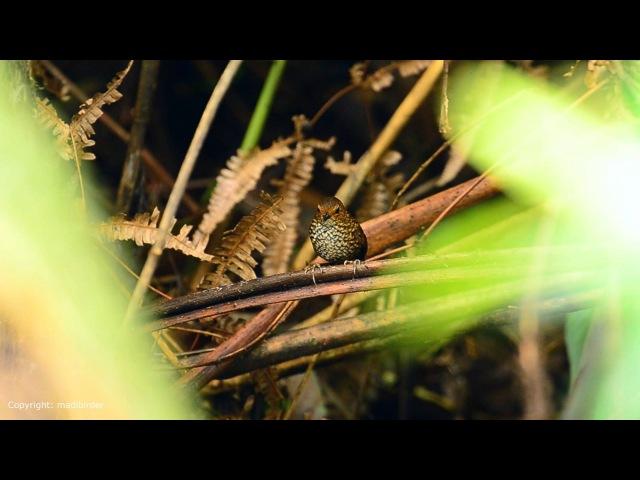 Малая бесхвостая тимелия Pygmy Wren babbler Pnoepyga pusilla