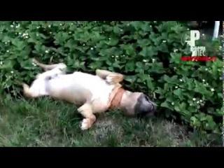 Пьяная собака прикол
