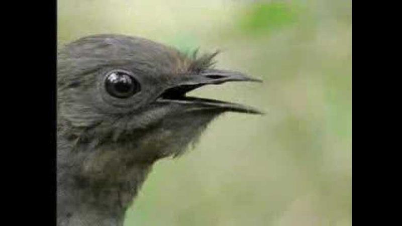 Amazing! Bird Sounds From The Lyre Bird - David Attenborough - BBC Wildlife