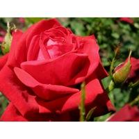 Роза чайно гибридная Кардинал