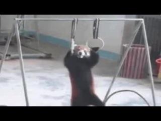 Панда, которая подтягивается больше чем ты