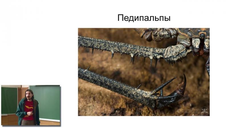 Лекция 22. Metazoa (часть 3) Ecdysozoa и Echinodermata