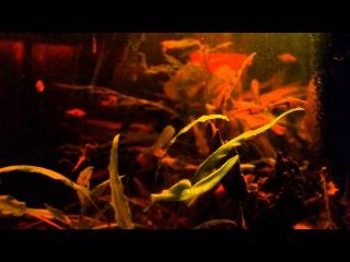 Биотопный аквариум медленно текущей реки (Юго-Восточная Азия, юго-восточный Таиланд)