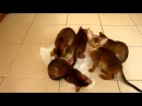 Прикольные кошки Абиссинские веселые котята Забавно смотреть!!