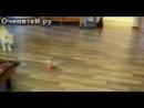 Кот против вертолёта