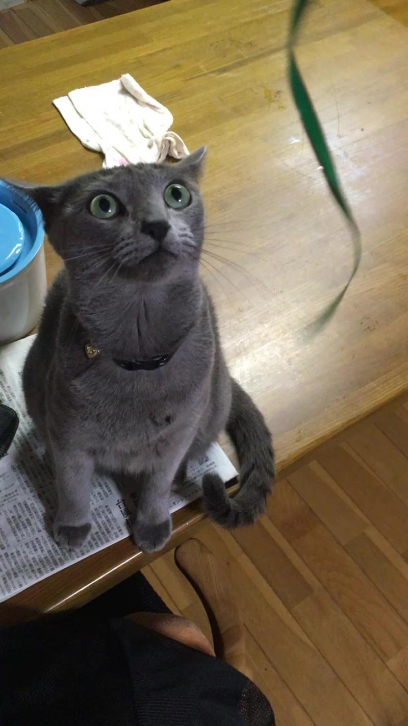 Русская голубая кошка_1