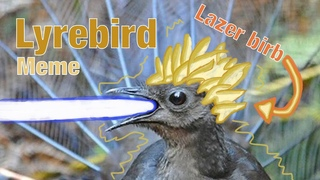 Lyrebird Shoots Lazers All Over The Place