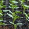 Рассада и все о выращивании