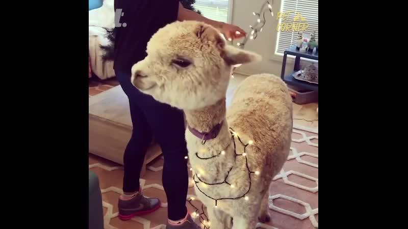 лама показывает Рождественские огоньки которые на ней