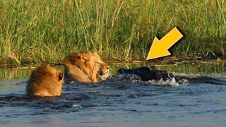 LION VS CROCODILE: GREAT BATTLE | Most Amazing Moments Of Wild Animal Fight