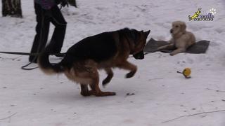 Бытовая дрессировка 4 , выдержка команда место, провокация другая собака играет с мячом