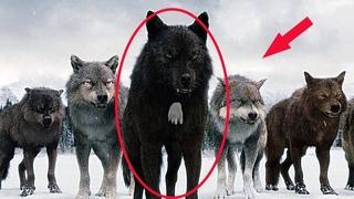 Вот почему охотники не трогают волков с белым пятном на груди!