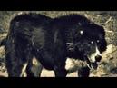 Native Georgian 🇬🇪 Mountain Shepherd - Nagazi