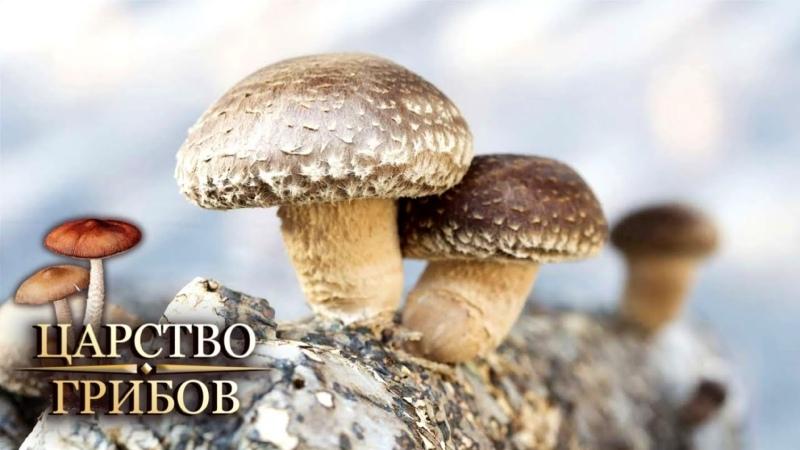 Дикие и домашние Царство грибов