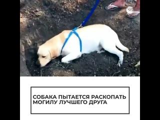 Собака пытается раскопать могилу лучшего друга