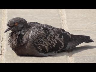 Птица одинокий голубь