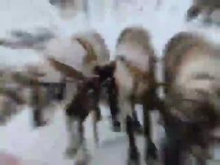 Видео от Ямал - полуостров открытий