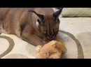 Шлепа охотится на льва