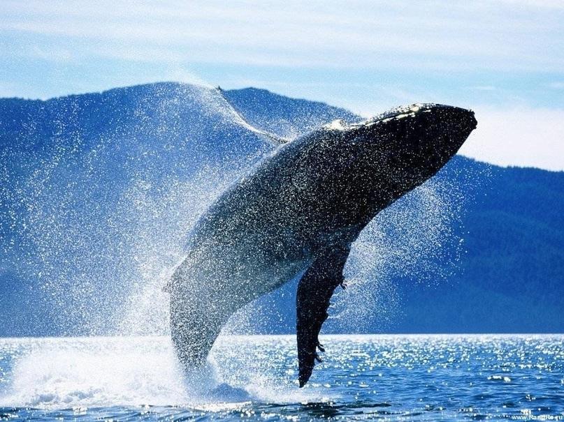 Синий кит — самый большой кит, самое большое современное животное, а также, веро...