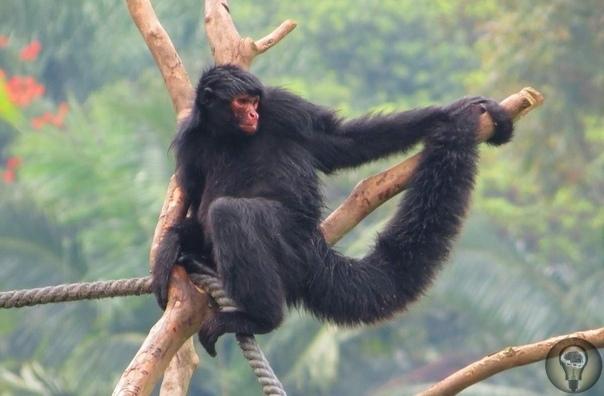 Черная коата паукообразная обезьянка Коаты род обезьян, жизнь которых протекает на территории Южной Америки, а также Центральной Америки. Их можно встретить во Французской Гвиане, Суринаме,