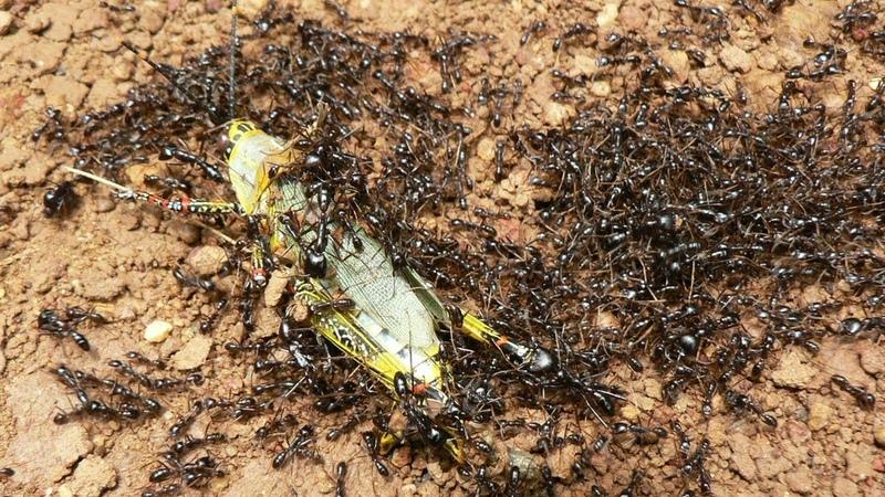 Самые опасные колонии муравьев Бегите если встретите такого муравья