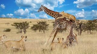 """Жираф оказался не прост и даёт отпор львам. Самые эпичные битвы диких животных """"за 5 минут"""""""