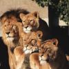 Львы, Львицы и Львята