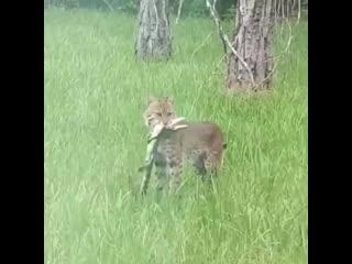 Житель штата Флорида снял на камеру смертельную схватку детеныша аллигатора и крупной рыси на заднем дворе своего дома.