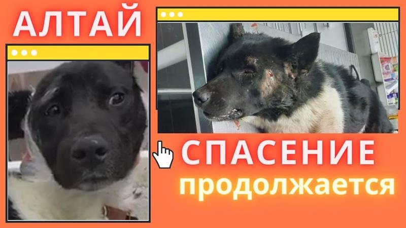 Алтай История спасения умирающего пса Altai The story of the rescue of a dying dog