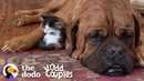 135 Pound Mastiff Becomes Obsessed With A Tiny Kitten The Dodo Odd Couples